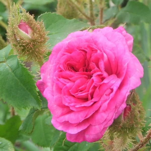 Little Gem - Moss Rose
