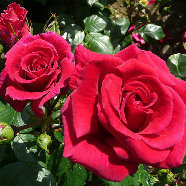 Lovestruck - Rose of the Year 2018 - Red Bush Rose