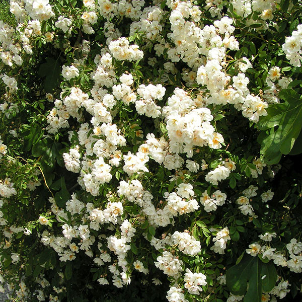 Lykkefund - Rambling Rose
