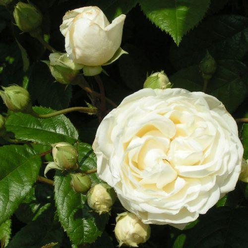 Madeleine Selzter - Cream Rambling Rose