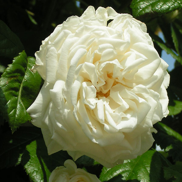 Madeleine Seltzer - Cream Rambling Rose