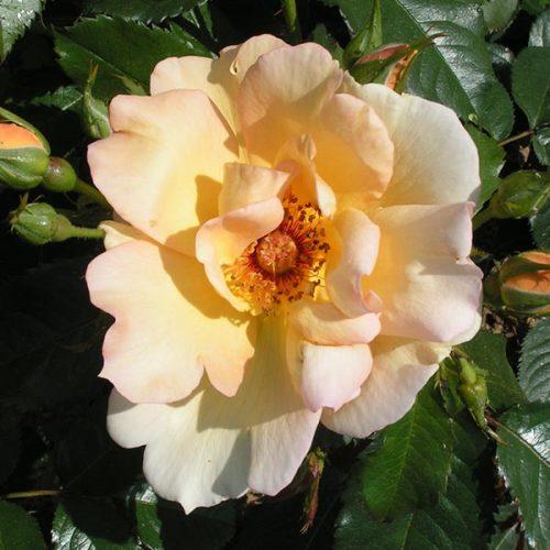 Maigold - Climbing Rose