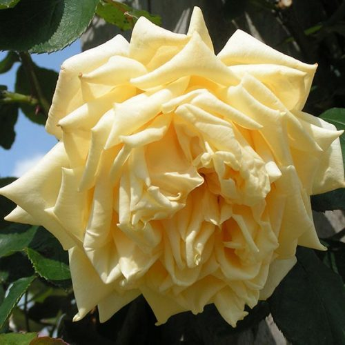 Marechal Neil - Yellow Climbing Rose