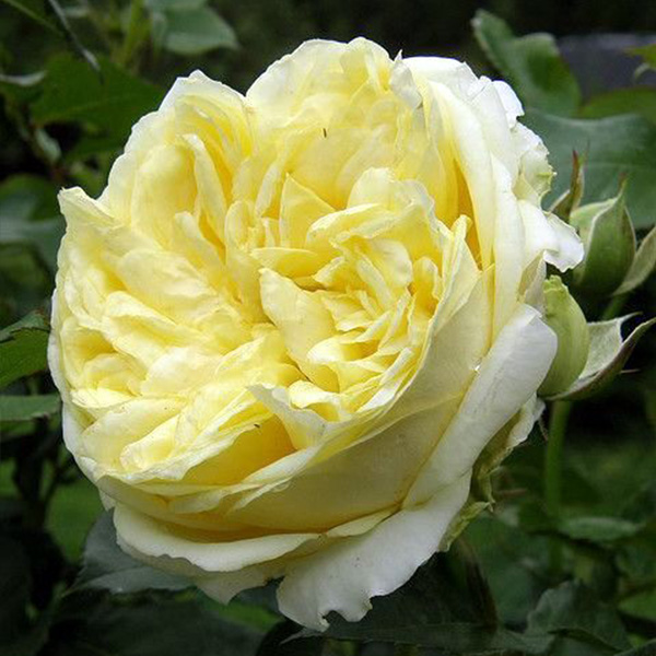 Mary - Yellow Renaissance Rose