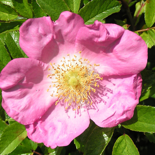 Max Graf - Pink Ground Cover Rose