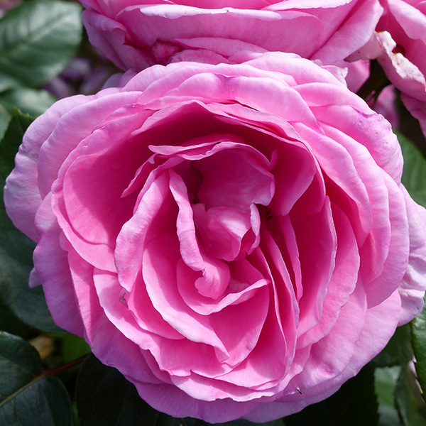 Millie - Pink Renaissance Rose