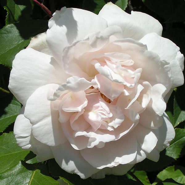 Mme. Alfred Carriere - Climbing Rose