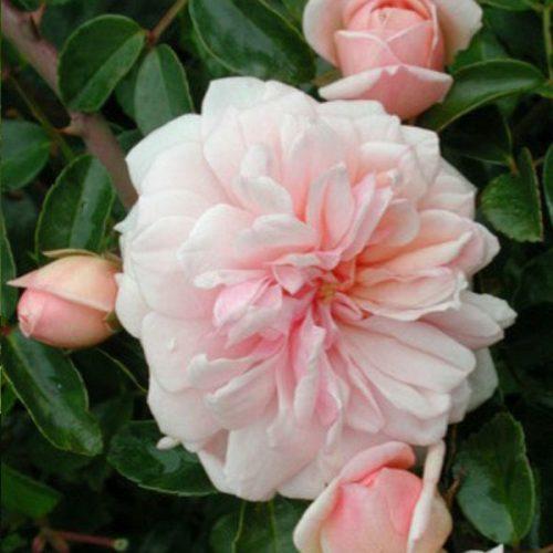 Mme Alice Garnier - Pink Rambling Rose