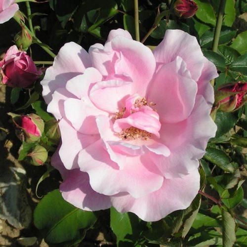 Mme. Gregoire Staechelin - Pink Climbing Rose
