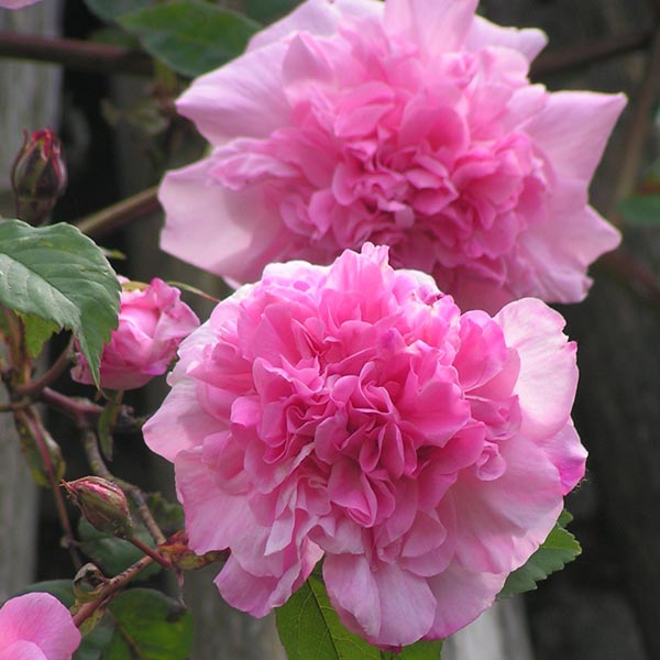 Mme. Sancy Parabere - Pink Climbing Rose
