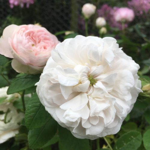 Mme Zoetmans - White Damask Rose