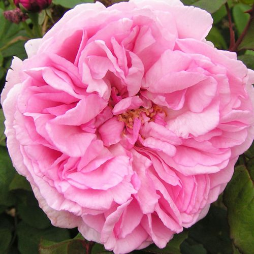 Mme. Ernst Calvat - Pink Bourbon Rose