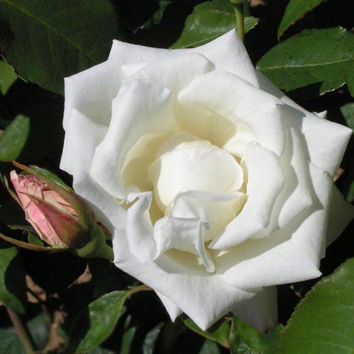 Mrs Herbert Stevens - White Climbing Rose