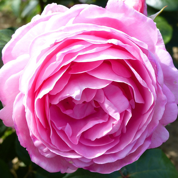 Mum in a Million, Pink Renassaince Rose.