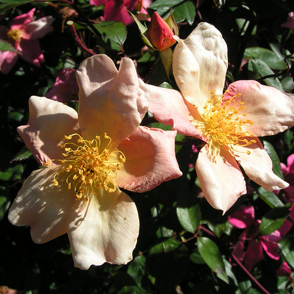 Mutablilis - China Rose