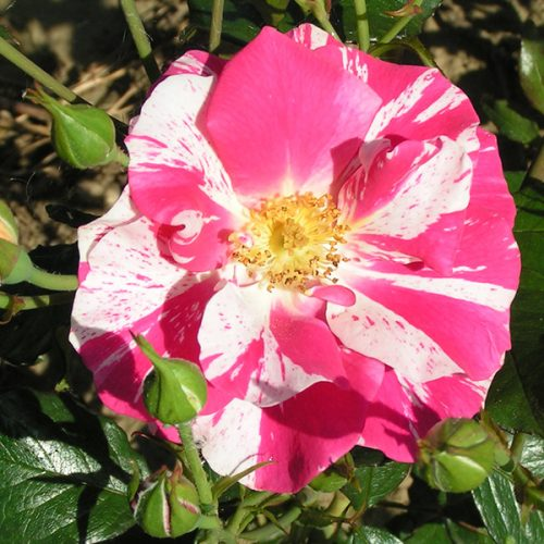 Nancy - Striped Renaissance Rose