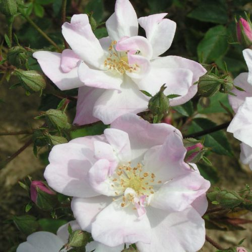 Narrow Water - Rambling Rose