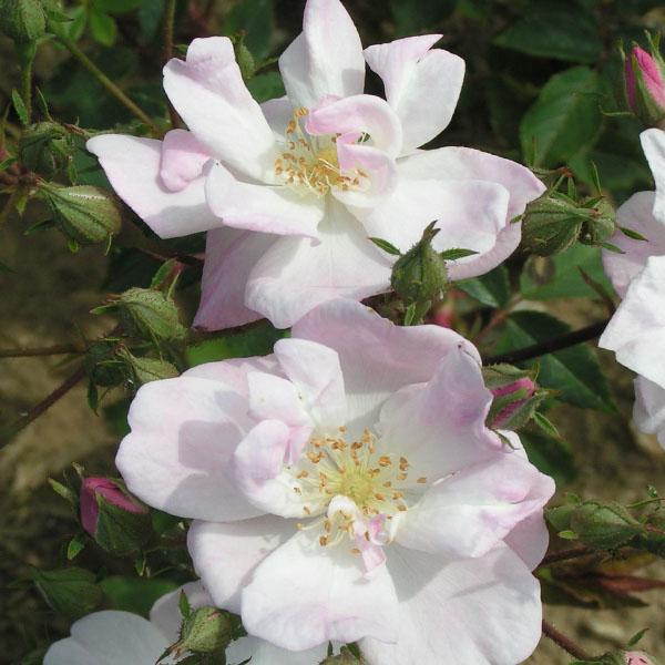 Narrow Water - Rambling Rose