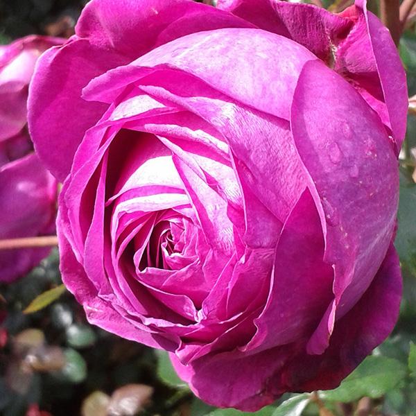 Natalie - Pink Renaissance Rose