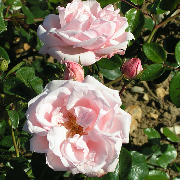 New Dawn Climbing Rose Trevor White Roses