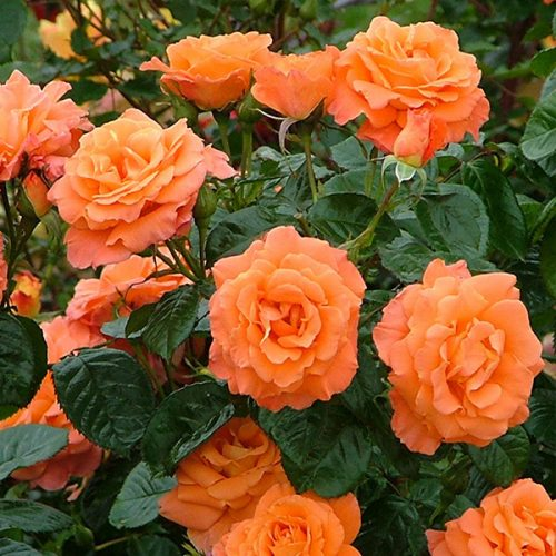 Newsflash - Orange Shrub Rose
