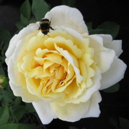 Nina - Yellow Renaissance Rose
