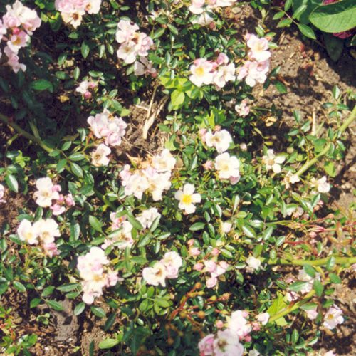 Nozomi - Pink Ground Cover Rose