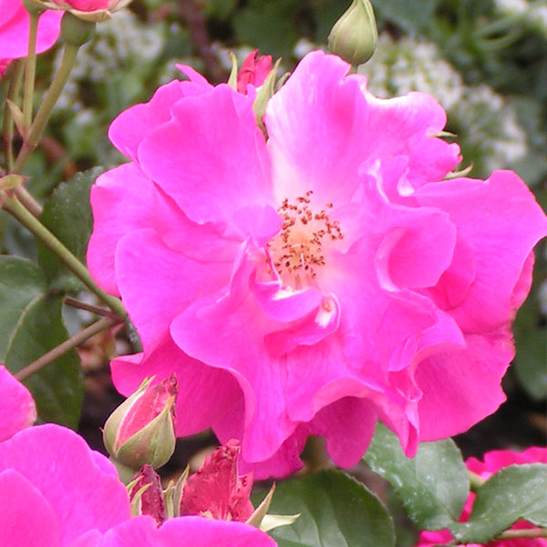 Nur Mahal - Pink Hybrid Musk Rose
