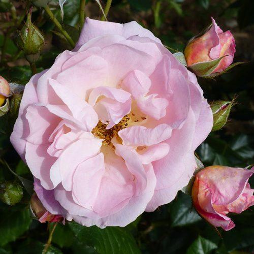 Nymphenburg - Pink Shrub Rose
