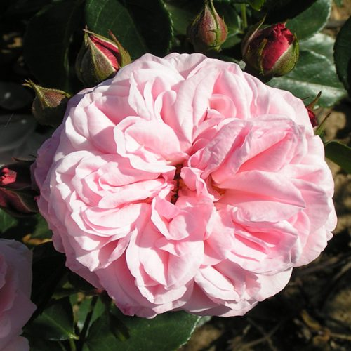 Octavia Hill - Pink Shrub Rose
