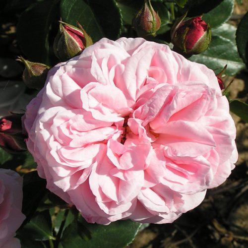 Octavia Hill - Pink Shrub Rose