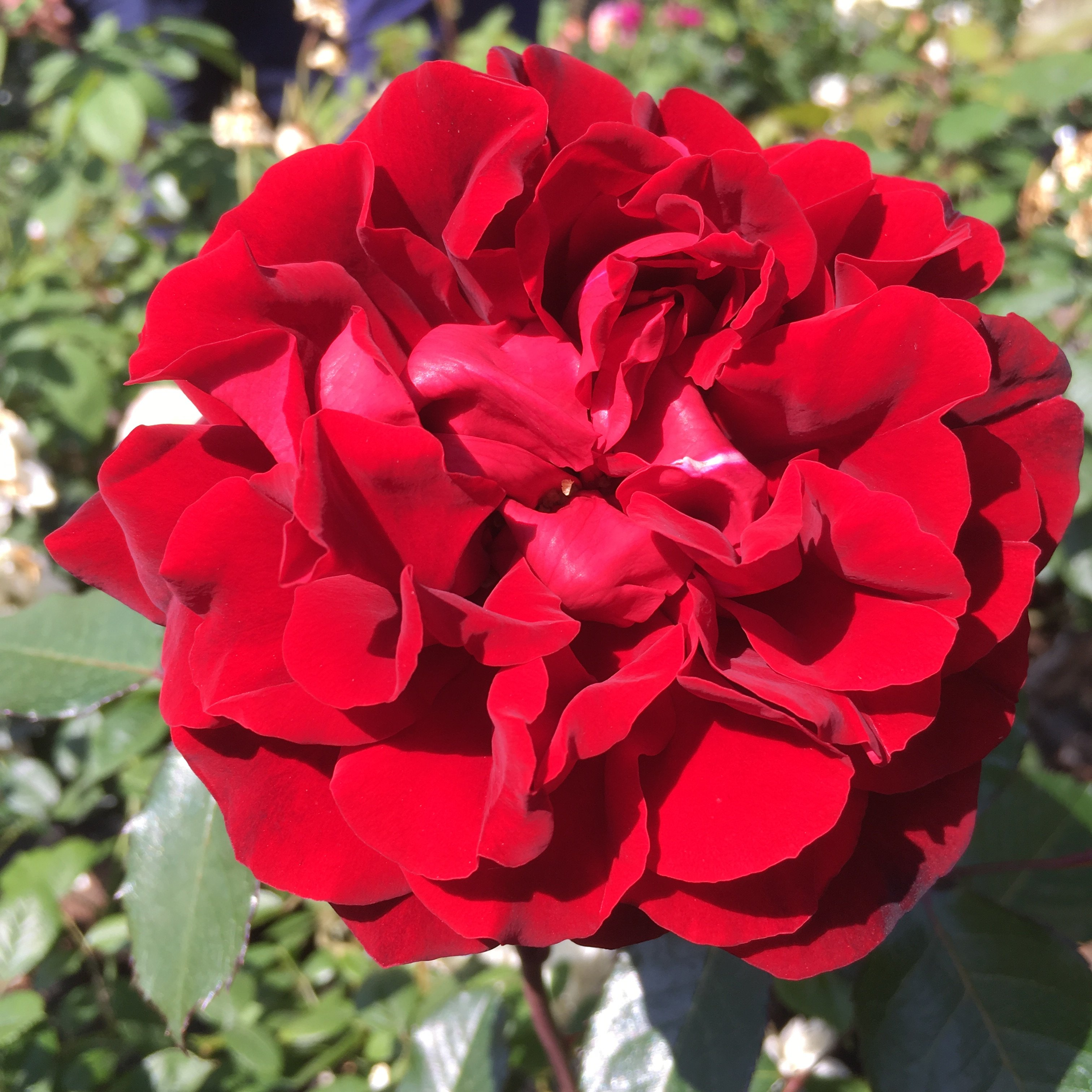 One in a Million / Trish - Red Renaissance Rose