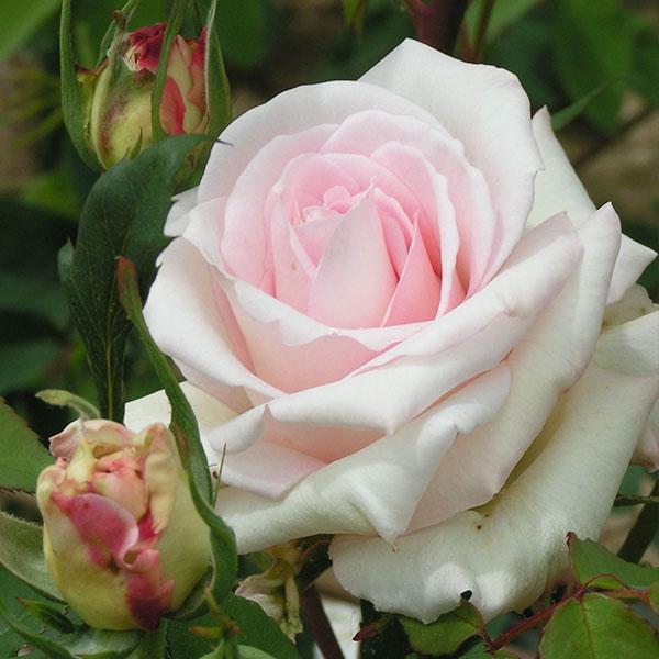 Ophelia - Pink Climbing Rose