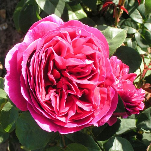 Othello - Red David Austin Rose