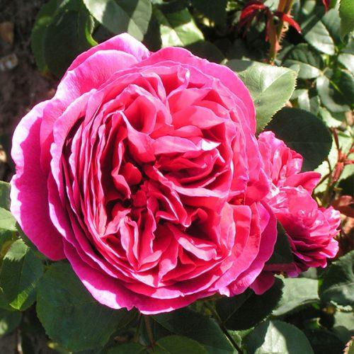 Othello - Red David Austin Rose