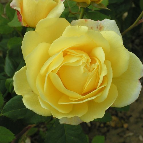 Our Rose - Yellow Shrub Rose