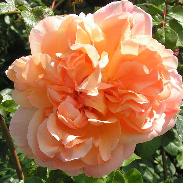 Papi Delbard - Orange Climbing Rose