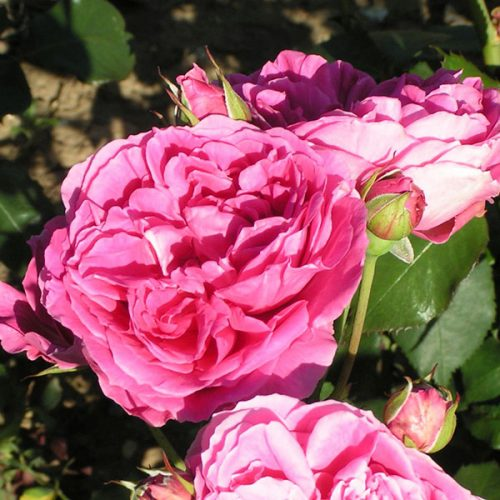 Parade - Pink Climbing Rose