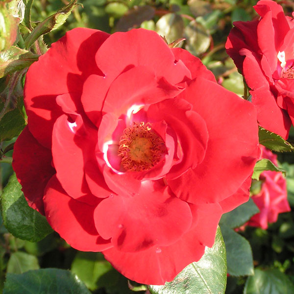 Parkdirecktor Riggers - Red Climbing Rose