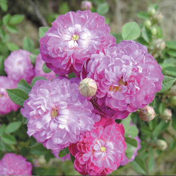 Parvifolia - Purple Centifolia Rose
