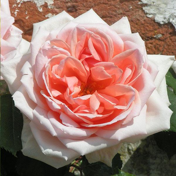 Paul Lede - Pink Climbing Rose