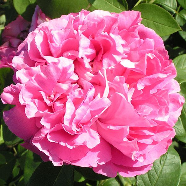 Paul Neyron - Pink Hybrid Perpetual Rose