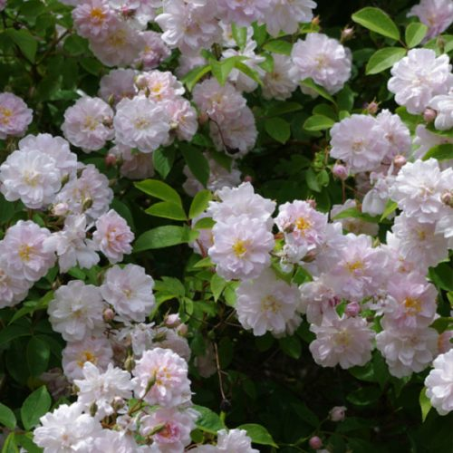 Paul's Himalayan Musk - Rambling Rose