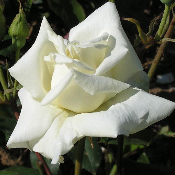 Pauls Lemon Pillar - Climbing Rose