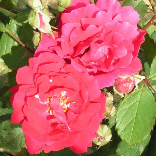 Pauls Scarlet - Red Climbing Rose