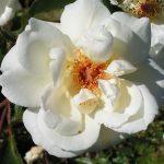 Pax - White Hybrid Musk Rose