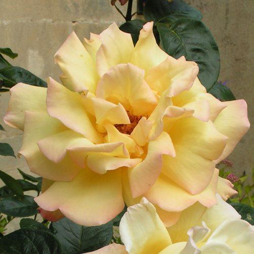 Peace - Climbing Rose