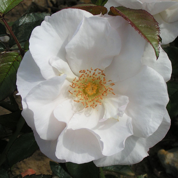 Pearl Drift Shrub Rose Quality Roses Direct From Grower