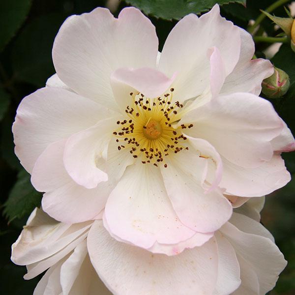 Penelope - White Hybrid Musk Rose