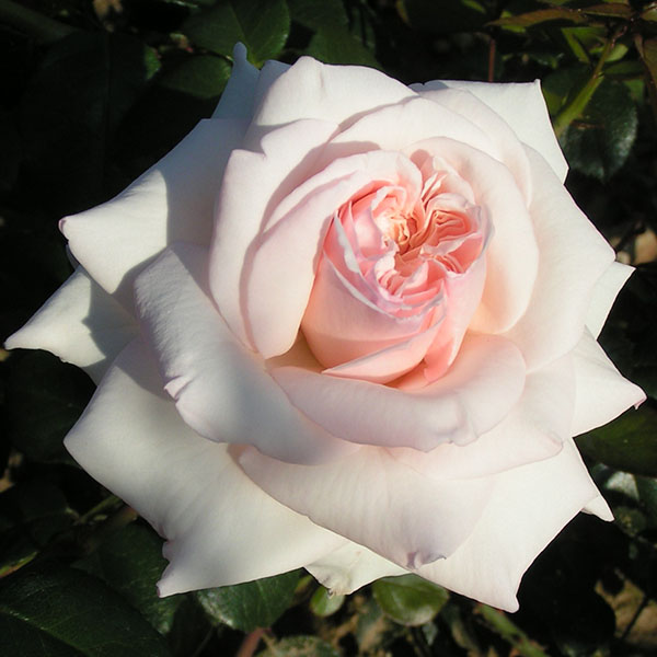 Penny Lane - Pink Climbing Rose